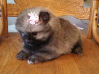 11 week old blue parti Merle Pomeranian. She is a very