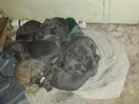 Blue pit bull puppies. They are from razors edge