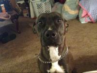 two blue nose pit bulls left, one male, one female,