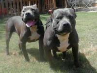 Beautiful blue pitbull puppies. 7 weeks old. They have
