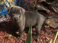 8 weeks old blue nose mix puppies for sale. absolute