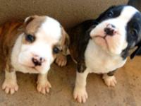 Only one left!!!! I have top of the line Bulldogs,