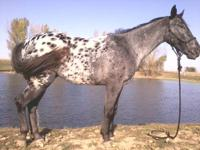 flash is a beautiful blue roan appy gelding. He is