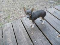 TINY-TOT FEMALE RAT TERRIER: She is a blue tri-color
