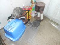 beautiful blue grey bobtail male and his sister need a