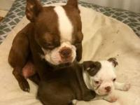 AKC Beautiful and sweet temperament baby Boston