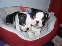 Stunning Boston Terrier Puppies for sale! 2 boys. Shot
