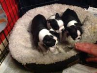 Lovely Boston Terrier Puppies! 3 males and 3 females!