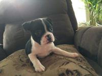 I have a gorgeous litter of 2 Boston terrier pups, the