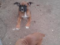 Beautiful bouncy AKC boxer puppy. 8 weeks old.. Weaned