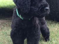 Beautiful Bouvier/Standard Poodle (cross) puppies.