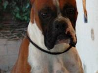 I have 3 beautiful AKC Boxer puppies ready for