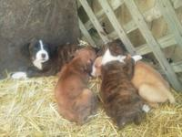 I have 5 female and 2 male boxer puppies for sale they