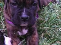 We have 2 beautiful boxer puppies left. All puppies