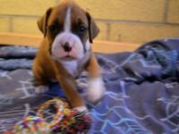 I currently have 4 beautiful purebred boxer puppies for