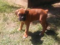 I have complete blooded fighter new puppies searching