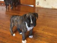 Beautiful Boxer puppies: I have 3 reverse brindle