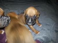 Beautiful Boxer Puppies born August 16th (three weeks