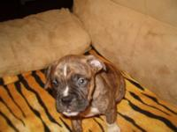 I have a litter of 7 boxer pups for sale, I have a