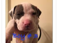 Stunning bully American Staffordshire Terrier puppy