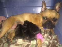 We have 4 beautiful Brindle AKC French Bulldog puppies,