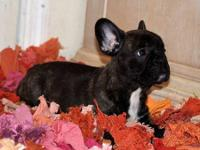 AKC Brindle French bulldog puppy male, date of birth: