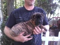 beautiful reverse brindle male American bandogge