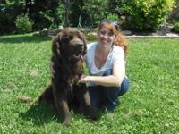 Samson is a wonderful brown Reg. Newfoundland male.
