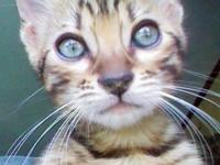 Here is my Beautiful Brown spotted male Bengal kitten