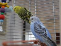 Three beautifully colored parakeets for sale. Cages