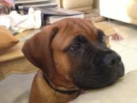 I have beautiful male Bull Mastiff one years old that I