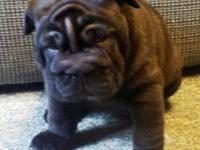 I have 2 beautiful Bull-Pei puppies left, black sables,