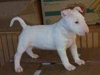 Beautiful Bull Terrier Puppies for sale.. The pups are
