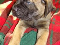 "Beautiful Registered ""Gentle Giant"" Bullmastiff Puppies"