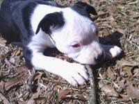 I have a beautiful little Pit Bull puppy.. her adoption