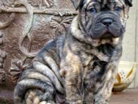 WE HAVE A GORGEOUS GROUP OF BULLYPEI'S. THEY ARE A