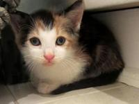 """""""Callie"""" is a gorgeous kitten with a great personality"""