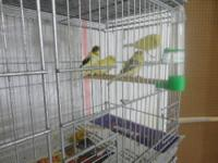 I have a variety of canaries, American Singers, Spanish