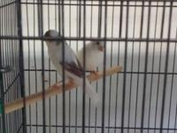 Beautiful canary Great Deal !!! Beautiful canary,