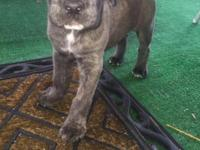 Hello we have 1 female cane corso puppy that needs a