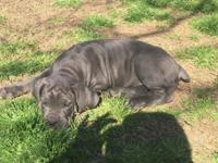 Beautiful ICCF registered Cane Corso puppies available.