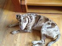 I have a beautiful female Catahoula for sale. She is