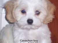 I have two litter of Cavachons, which mothers are