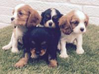 We have for sale 5 stunning cavalier king Charles