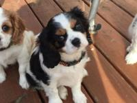 3 Beautiful Cavalier King Charles Spaniel puppies - 2