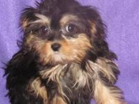 Female first generation Cavapoos (King Charles Cavalier