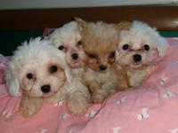 GORGEOUS litter! little boys Toy sizes! and girls