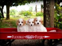 We have three adorable Cavapoo puppies looking for