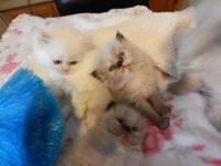 **I have a beautiful litter of kittens born on