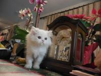 Very sweet White CFA Persian kitten  that was born